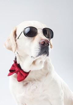 ポーズ 動物 生物 生き物 哺乳類 ほ乳類 犬 いぬ イヌ ドッグ ラブラドールレトリバー ラブラドール ラブ 大型犬 蝶ネクタイ 赤 サングラス ポートレート かっこいい ちょいワル 白背景 白バック グレーバック バストショット バストアップ 十二支 干支 戌