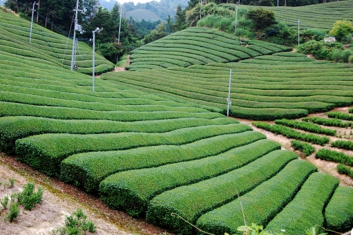 京都 宇治茶 日本茶 和束茶 茶畑 グリーンティ 茶源郷 和束 わずか wazuka 茶葉 茶園 八十八夜 5月 新茶 日本で最も美しい村 トレイル 景観 日本の原風景