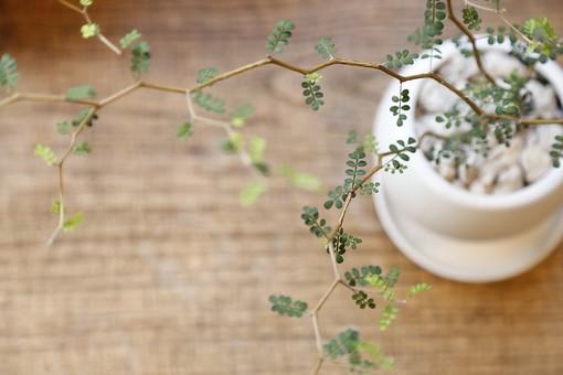 植物 観葉植物 鉢 鉢植え 葉 葉っぱ リーフ 枝 つる 緑 グリーン 小物 雑貨 小さい ミニ 鑑賞 インテリア 飾り 装飾 卓上 ポット プランター かわいい キュート おしゃれ のびる 長い 細い 癒し 趣味 栽培 育てる インドアガーデニング 園芸 チビ 背景 机 テーブル デスク 食卓 棚 シェルフ 家具 室内 ナチュラル