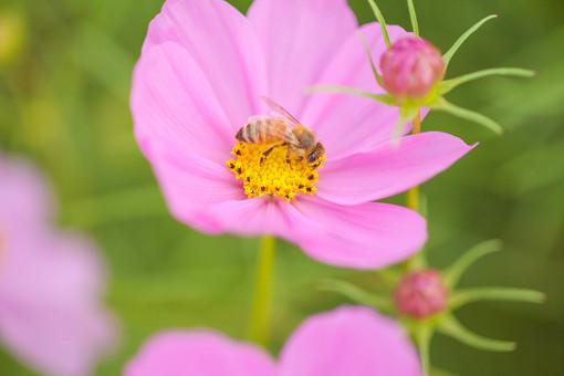 秋の風景 コスモス アキザクラ 秋桜 ミツバチ ハチ 蜂 桃色 ピンク 緑 コスモス畑 蜜 植物 昆虫 花 草花 花畑 花びら がく つぼみ 散歩 散策 自然 風景 景色 のどか 背景 ボケ味 ピントぼけ アップ 接写
