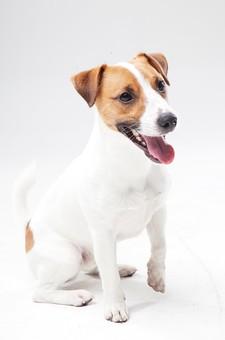 ポーズ 動物 生物 生き物 哺乳類 ほ乳類 犬 いぬ イヌ ドッグ ジャックラッセルテリア 小型犬 仔犬 子犬 おすわり お座り 全身 待つ 待て まて マテ しつけ 賢い かしこい かわいい 可愛い 白背景 白バック グレーバック 十二支 干支 戌