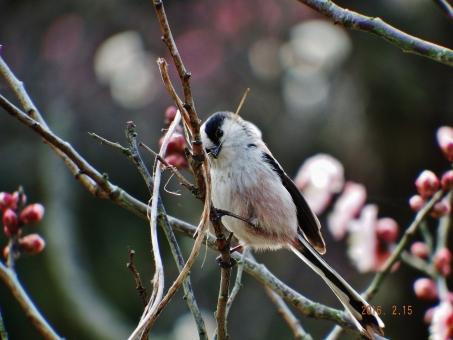 梅にエナガ 木をつつく 虫探し 飛び跳ねる チョコチョコと飛ぶ 尾っぽが長い