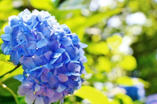 紫陽花 アジサイ 花 植物 六月 梅雨 可愛い 綺麗 青い 青色 ブルー 風景 背景 スナップ 満開 花びら グリーン