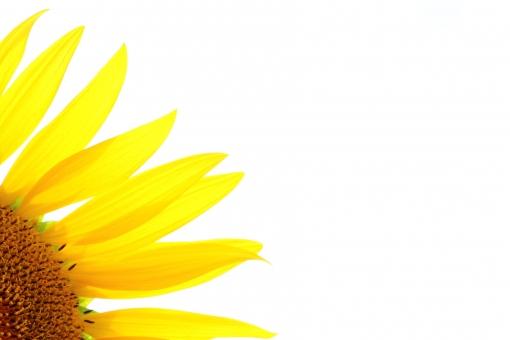 ひまわり 向日葵 ヒマワリ ひまわり畑 ヒマワリ畑 向日葵畑 太陽 お日さま お日様 メラメラ 花びら 植物 花 フラワー flower 黄 黄色 イエロー yellow 夏 真夏 背高 のっぽ ノッポ 大きい でかい 大輪 クローズアップ 青空 青い空 青色 水色 空色 晴れ 快晴 晴天 ブルー blue 茶色 茶 ブラウン brown 強い 明るい 優しい 爽やか 艶やか 鮮やか 笑顔 微笑み ほほえみ 朗らか ほがらか 自然 風景 景色 壁紙 背景 テクスチャ 素材 サンフラワー sunflower 涼しさ 涼しい 涼