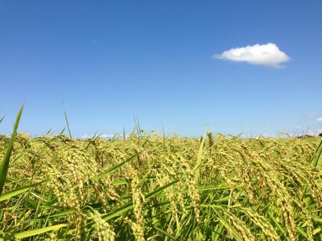 稲穂 稲 実り たわわ 米 新米 青 緑 黄金 黄金色 豊か 豊穣 五穀豊穣 空 秋空 雲 秋 新潟 田んぼ