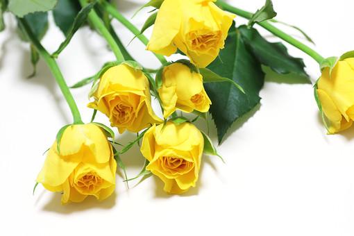 ばら バラ 花束 ブーケ 花 愛 薄れゆく愛 植物 フラワー 種子植物 花弁 花びら 生花  葉 葉っぱ 黄色い花 白背景 白バック ホワイトバック 5月 6月 10月 11月 ローズ