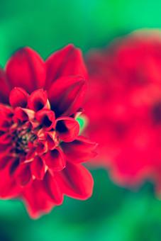 自然 植物 花 花びら 赤 大輪 アップ 鮮やか 綺麗 美しい 華やか 咲く 満開 開く 開花 成長 育つ 伸びる ぼやける ピンボケ 重なる 無人 加工 室外 屋外 風景 景色 緑  幻想的 ダリア