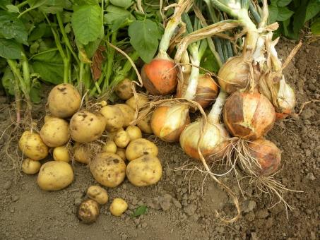 畑 玉葱 たまねぎ 玉ねぎ タマネギ 玉ネギ 新玉葱 ジャガイモ じゃがいも ジャガ芋 馬鈴薯 じゃが芋 新ジャガ 新じゃが 収穫 初夏 野菜 やさい