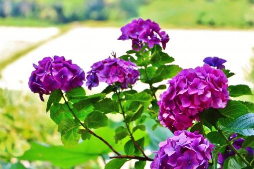 紫陽花 アジサイ 花 六月 梅雨 植物 葉っぱ ピンク ピンク色 グリーン 緑 自然 風景 スナップ 背景