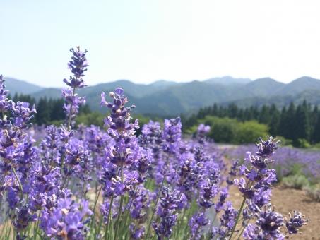 ラベンダー 緑 植物 花 山 空 らべんだー しょくぶつ はな やま そら 背景 はいけい flower バックグラウンド background フラワー 紫 むらさき パープル ぱーぷる