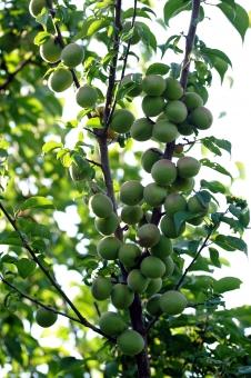 実 梅 ウメ 青梅 うめ 梅の実 緑 葉 枝 青 ブルー 葉っぱ 日本 植物 梅の果実 実り 沢山 フルーツ 鈴なり たわわ 自然 アオウメ 和 昼 ウメの実 あおうめ