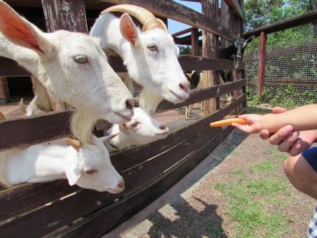 ヤギ 餌やり 人参 恐る恐る 食べる 食べさせる