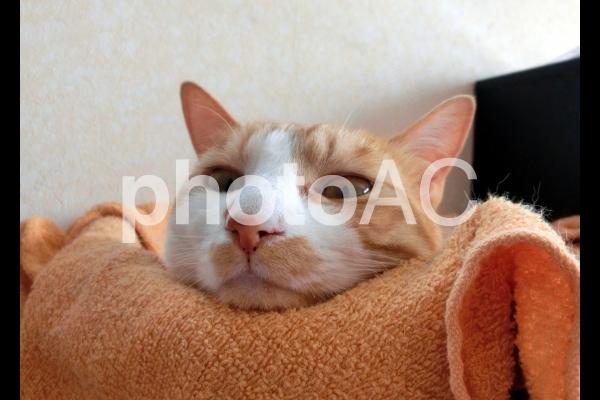 ぼーっとする猫の顔1の写真