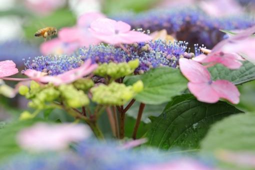 アジサイ 紫陽花 あじさい 花 植物 マクロ 拡大 横位置 余白 ピンク 紫 6月 雨 梅雨 色合い 湿度 天気 パステル 接写 蜂