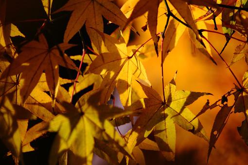 紅葉 もみじ モミジ 葉 植物 自然 屋外 アップ 黄色 秋 和 きれい オレンジ色 枝 綺麗 鮮やか 和風 晴天 輝く 晩秋 黄葉 日差し 風情 秋のイメージ 黄色い葉