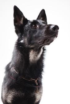 ポーズ 動物 生物 生き物 哺乳類 ほ乳類 犬 いぬ イヌ ドッグ シェパード 黒 見る 興味 好奇心 かわいい 可愛い しつけ かしこい おりこう 見上げる おねだり 待つ まて 待て バストショット バストアップ 白背景 白バック グレーバック 十二支 干支 戌
