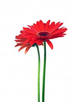 花 ガーベラ 赤 赤い花 フラワー 白背景 縦 二輪 パーツ 形 植物 グリーン 花びら