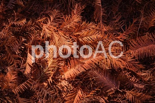 メタセコイアの落ち葉の背景の写真