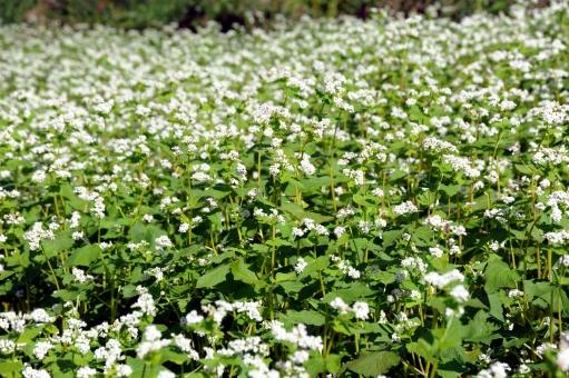 蕎麦の花 そば畑 畑 蕎麦 白 花びら 小さい そば 農業 満開 植物 花畑 実り