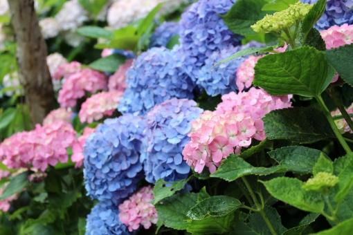 鎌倉の紫陽花1の写真