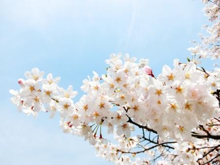 桜 雲 さくら 花見 お花見 春 白 ピンク 花 植物 木 桃色 淡い 青空 青 背景 バック 壁紙 自然 風景 桜と空 入学式 卒業式 門出 出会い きれい 4月 旅立ち 新生活 合格