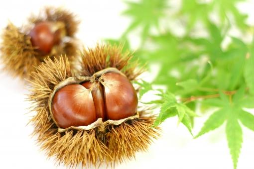 栗 クリ イガ栗 毬栗 イガ 秋 もみじ 紅葉 食べ物 果物 秋の味覚 季節 栗拾い 毬 植物