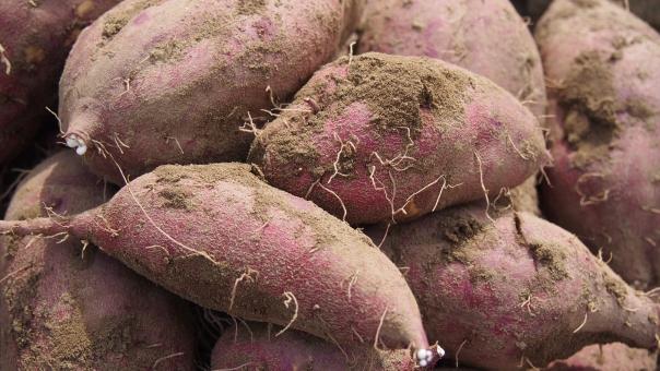さつまいも さつま芋 サツマイモ 薩摩芋 野菜 収穫 畑 家庭菜園 食べ物 土 泥 vegetable sweet potato 紅あずま 秋 autumn