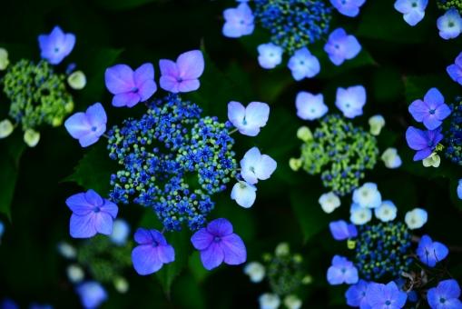 あじさい アジサイ 紫陽花 額紫陽花 がくあじさい ガクアジサイ 植物 花 はな 青い花 青 あお