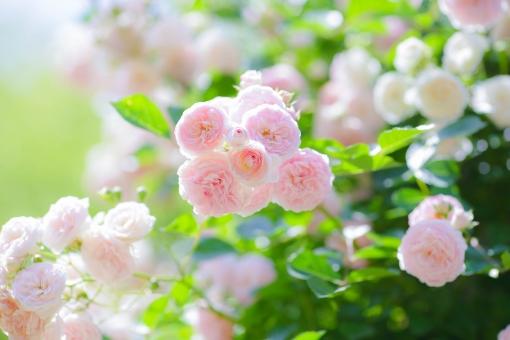 小さくてまるいバラの写真