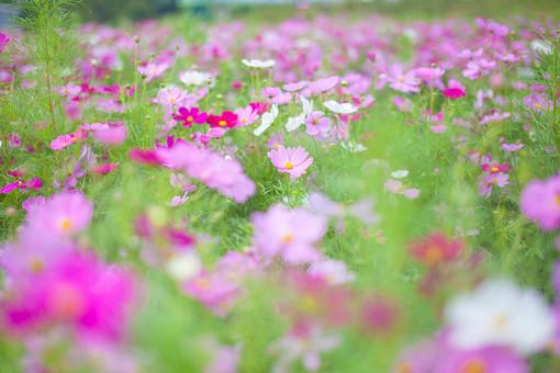 秋の風景 コスモス アキザクラ 秋桜 コスモス畑 花畑 花園 桃色 ピンク 白 緑 植物 花 葉 草花 一面 満開 散歩 散策 自然 風景 景色 真心 のどか 鮮やか 華やか 美しい 綺麗 明るい ボケ味 ピントぼけ