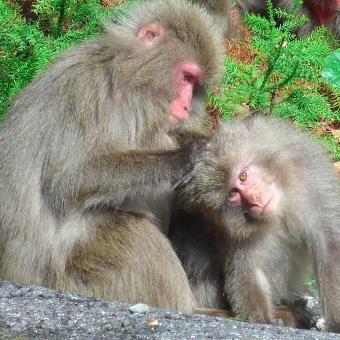 屋久島 屋久猿 猿 野生 毛繕い 可愛い 親子