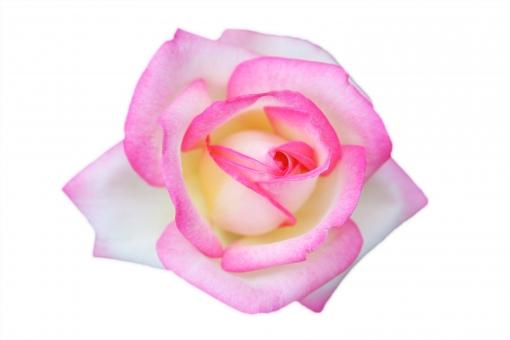 薔薇 18 プリンセスドゥモナコ(PSD 背景透過 切抜)の写真