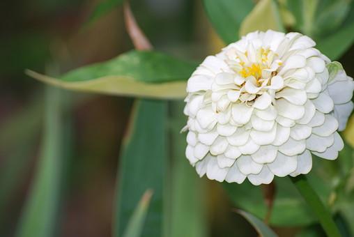 百日草 ひゃくにちそう 花 自然 花 フラワー 花びら 白い キク科 観賞 開花 満開 切り花 ガーデニング 仏花 草花 直立 一年草 夏 長持ち 色が豊富 植物 円い形 真っ白 うろこ状 ホワイト