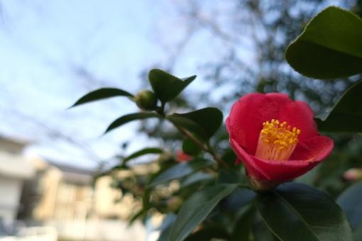寒椿の写真