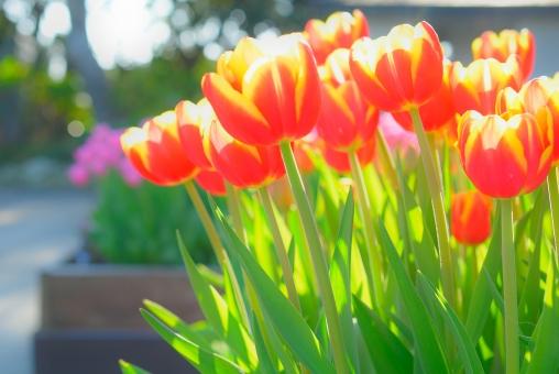 チューリップ ちゅーりっぷ 赤 黄色 バイカラー 花壇 チューリップ畑 花畑 明るい コピースペース 文字スペース ガーデニング 球根 球根植物 花 植物 春 春の花 春イメージ 背景 壁紙