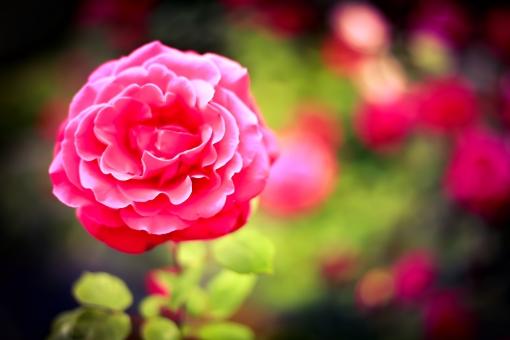 赤い 赤 バラ 薔薇 ばら 花 植物 綺麗 スペース 人気 プレゼント 贈り物 カード 結婚式 父の日 母の日 美しい ぼかし
