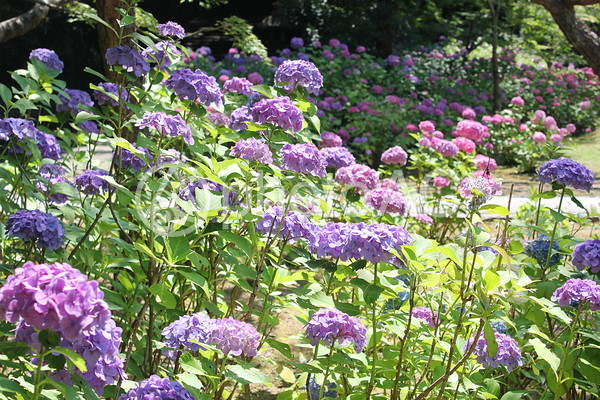 紫陽花3の写真