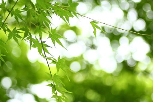 自然 風景 景色 環境 スナップ 旅行 散歩 公園 森林 緑 林 かわいい 小さい 春 夏 季節 葉っぱ 植物 美しい きれい シルエット 栽培 野草 草花 癒し もみじ 木陰 木漏れ日
