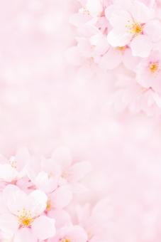 淡い桜のフレームの写真