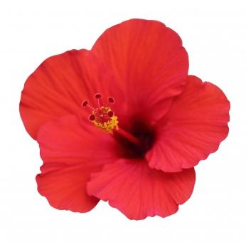 夏 ハイビスカス 植物 フラワー 花弁 花びら 生花 白背景 白バック ホワイトバック 熱帯 花 お花 南国 7月 7月 七月 8月 8月 八月 パス切り抜き 切り抜き クリッピングパス パス 切抜き 暑い 熱帯植物 夏休み 南の国 バケーション 赤 赤色 赤い花 夏の花