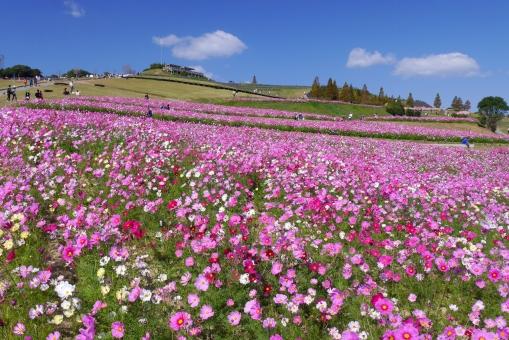 花いっぱいのコスモスの丘の写真