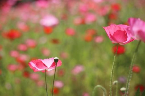 ポピー ピンク 花 初夏 夏の花 5月 5月の花 花畑 お花畑 植物 自然 明るい メルヘン 淡い 一面