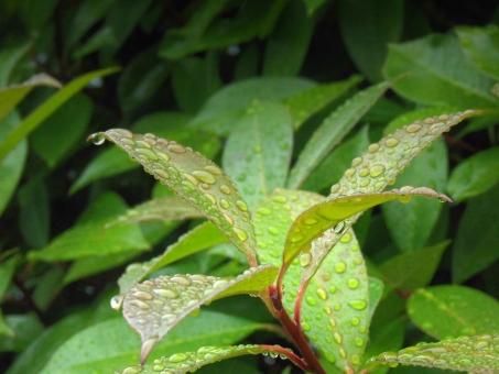 梅雨背景 6月 梅雨 陽射し 枝 木 樹木 加工 成長 育つ 伸びる 新緑 鮮やか コントラスト 無人 室外 屋外 景色 多い 密集 集まる 沢山 重なる ローアングル 見上げる 水泡 水 水分 アクア しぶき 潤い 湿度 湿気 液体 雫 表面 付着 雨 雨水 透明感 水色 テクスチャ テクスチャー 質感 素材 背景 バックグラウンド 植物 野菜 葉 葉っぱ 緑 グリーン ロータス効果 栽培 園芸 農地 雨上がり 露 水滴 しずく 朝露 夜露 結露 水玉 エコロジー 環境 自然 恵み 風景 アップ 接写