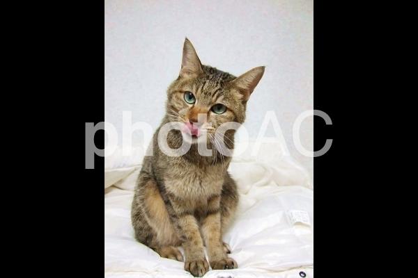 舌をペロッと出した猫の写真