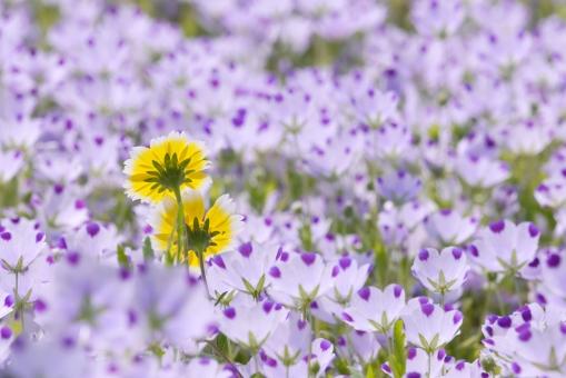ネモフィラ 白 紫 パープル 春の花 植物 壁紙 かわいい 可愛い 美しい ガーデニング 公園 テクスチャ テクスチャー 春 お花畑 お花 花 自然 バック 華やか 花畑 景色 風景 背景 背景素材 素材 背景写真 4月 5月 初夏 鮮やか 色鮮やか 彩り 屋外 綺麗 一面 明るい 黄色 黄 栽培 庭 ガーデン