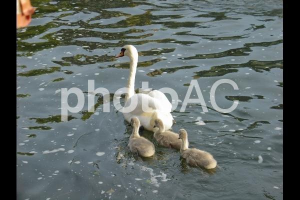 池を泳ぐ白鳥の親子の写真