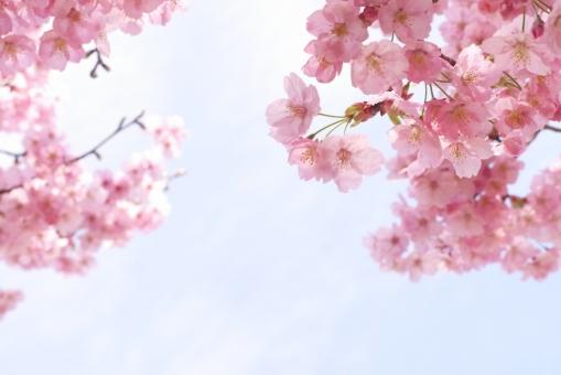 風景 陽光桜 バラ科 入学式 お花見 新生活 春の花 ピンクの花 テクスチャ テクスチャー 樹木 木 テキストスペース コピースペース 植物 優しい やさしい ソフト 柔かい やわらかい 美容 四月 光 4月 白 花弁 花びら 爽やか さわやか 青 空 青空 水色 自然 美しい さくら サクラ ピンク 花 春 綺麗 可愛い かわいい 背景画像 桜 カード ハガキ バックグラウンド 余白 スペース バック バック素材 素材 背景素材 日本 壁紙 明るい アップ 背景 和風 和 年賀状素材 元旦 年賀ハガキ イメージ 1月 新春 新年 お正月 正月 年賀状 年賀 元旦素材 初春 迎春