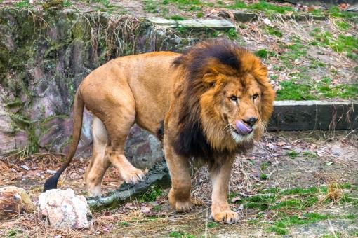 ライオン 舌 ベロ 怖い 狩 獲物 発見 襲う 食われる 哺乳類 動物 王 王者 王様 動物園 安佐動物園