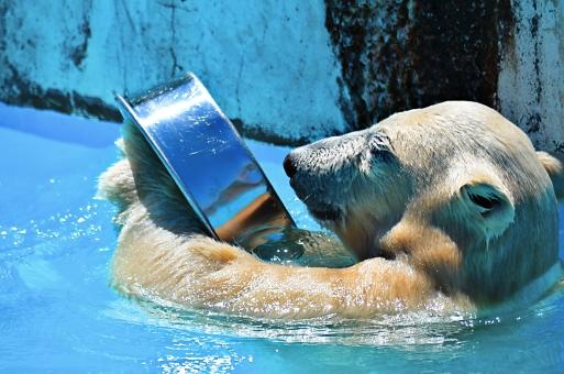 白くま くま 遊び 水族館 人気者 動物 熊 泳ぎ上手 水遊び 泳ぎ 暑い 夏 北極 可愛い 青い水 北極熊 樽遊び 大きい顔 大きい手 濡れた体 気持ちいい 水色 映る顔 興味深々 ホッキョクグマ