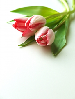 チューリップ 花  春 植物 自然 アップ 葉 緑 赤 ぼやける 綺麗 バックグランド コピースペース ポストカード 可愛い 背景